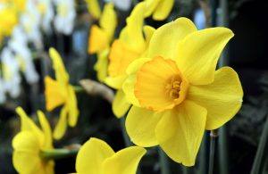 Enjoy a spring break in Yorkshire with a trip to Harrogate Flower Show, where the Daffodil Society's Northern Group holds its annual show