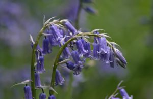 Bluebells at Middleton Woods