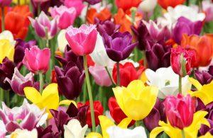 Flowers on display at Harrogate Spring Flower Show