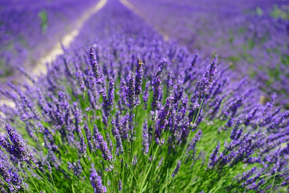 Lavender fields in Yorkshire