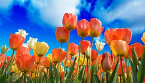 Colourful tulips in spring, blue sky